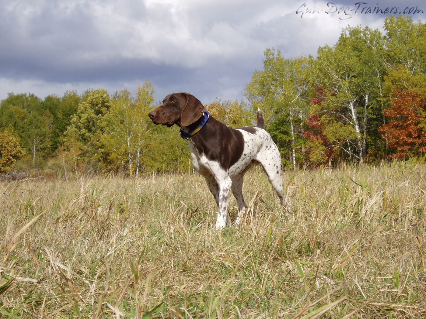 gun dog   german shorthaired pointers   pinterest   pointers and