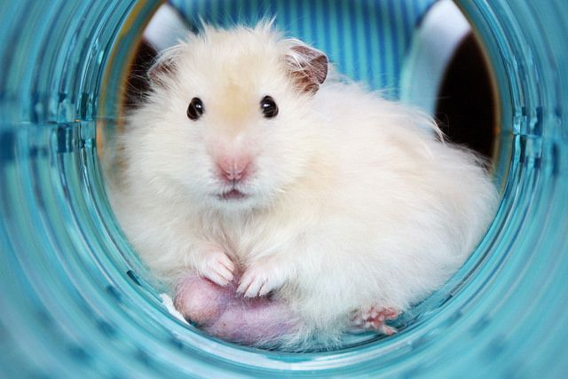 What A Gorgeous Syrian Hamster Dwarf Hamster Care Hamsters For