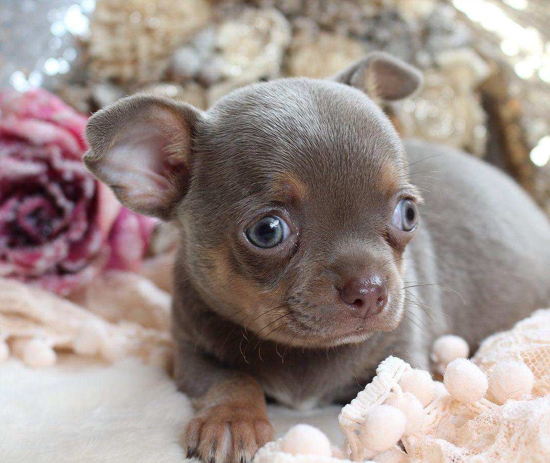 Tinytchi Chihuahuas Available Puppies Chihuahua Love Puppies Chihuahua