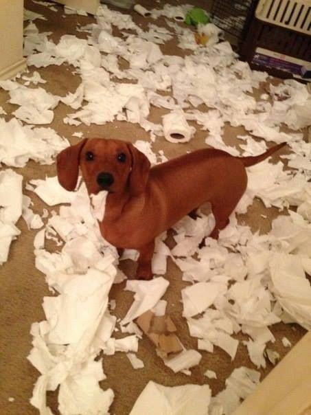 What I Needed A Tissue Dachshunds Dachshund Puppies