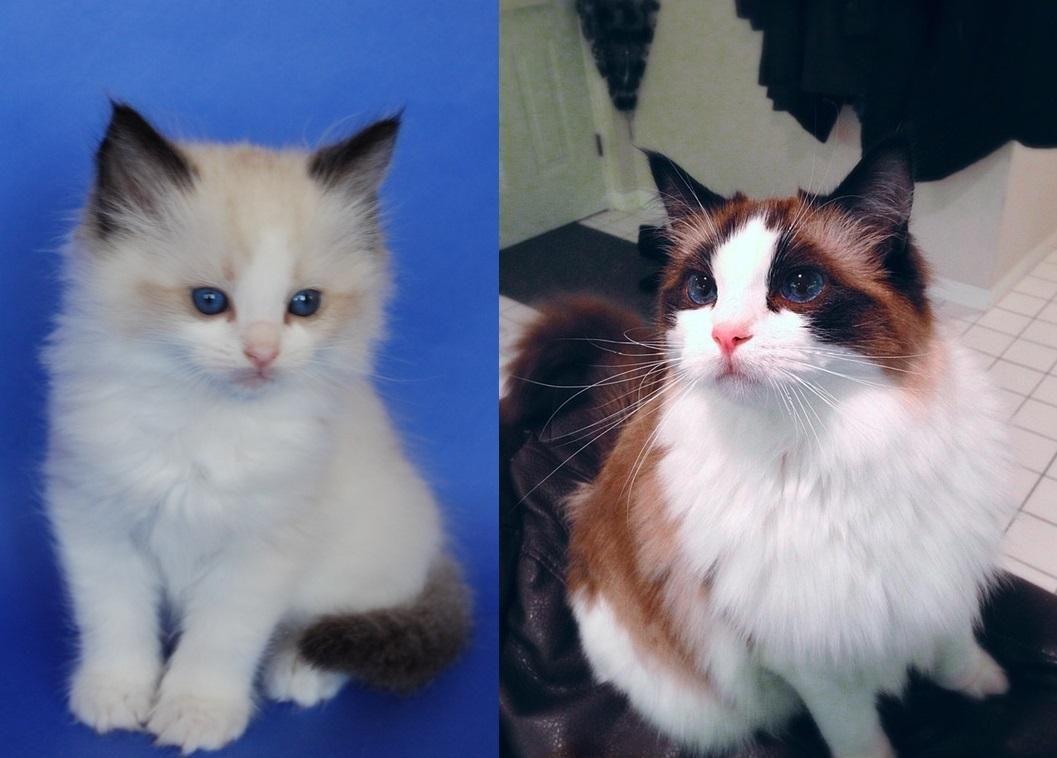 Ragdoll Kitten All Grown Up Http Ift Tt 2ql3woo Ragdoll Kitten Ragdoll Cat Cute Animals