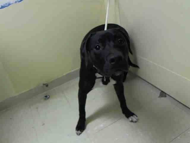 GONE --- Staten Island Center    APOLLO - A1007884    MALE, BLACK / WHITE, PIT BULL MIX, 6 mos  OWNER SUR - EVALUATE, NO HOLD Reason PERS PROB   Intake condition NONE Intake Date 07/24/2014, From NY 10305, DueOut Date 07/27/2014 https://www.facebook.com/Urgentdeathrowdogs/photos_stream?tab=photos_stream