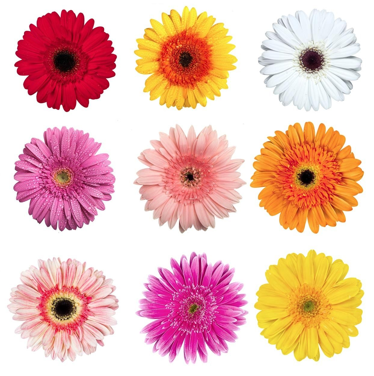 Gerbera Flower Bengali Meaning Gerbera Daisy. Colors: Light Pink, Dark Pink, Yellow