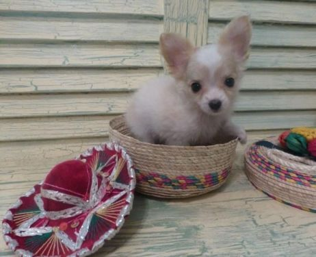 Chihuahua Akc Ckc Tiny White Fawn Long Hair Males Chihuahua