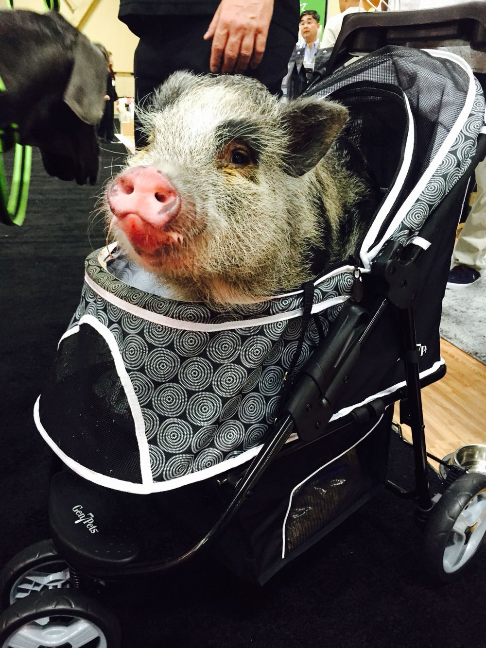 Pig on a stroller Mini pigs, Miniature pigs, Small pigs