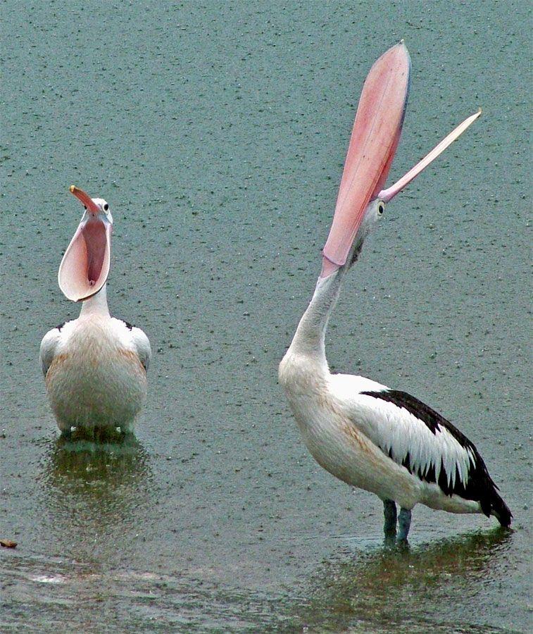 Pelicans catching rain.