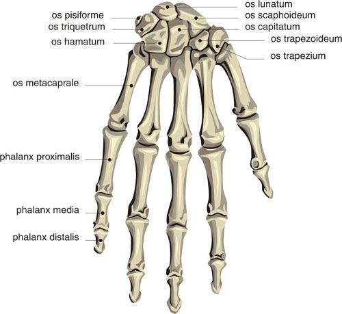 4 human skeleton hand diagrams in skeleton - biological science, Skeleton