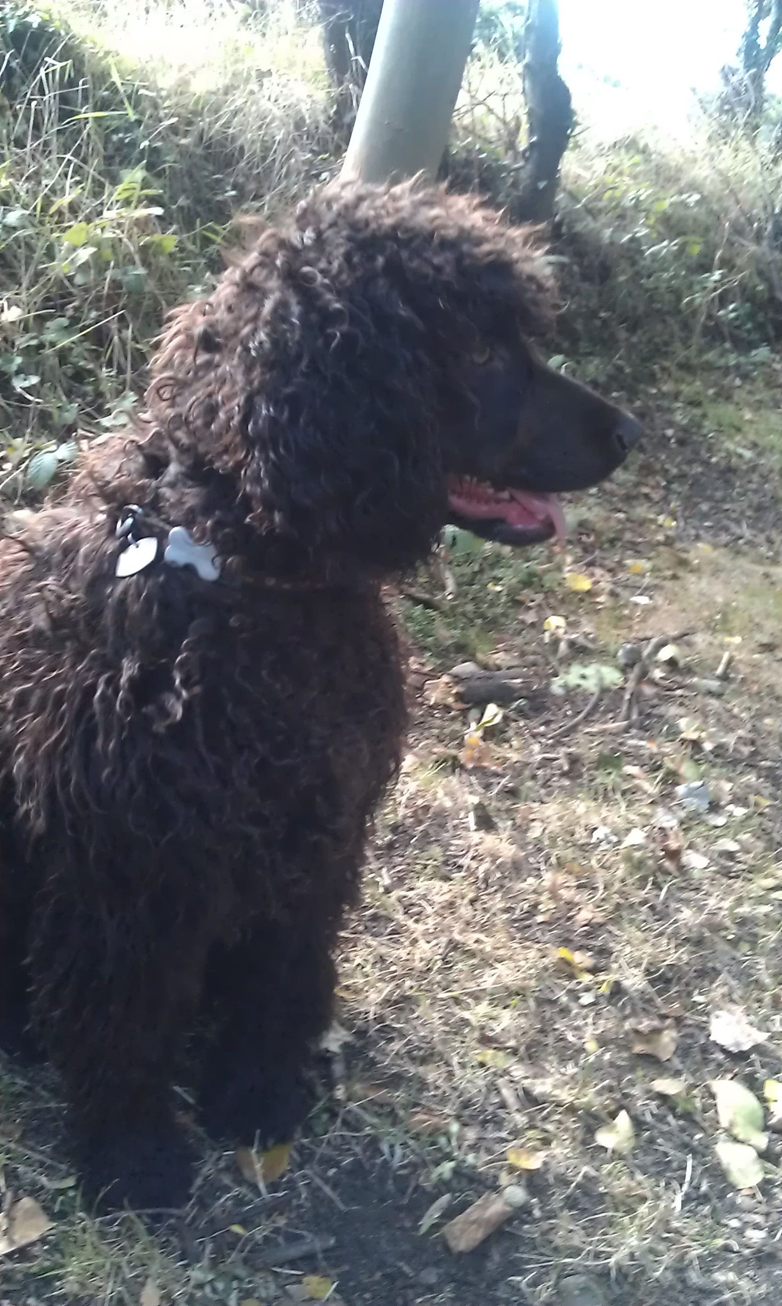 Amy Malanis Roxy Irish Water Spaniel