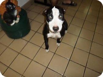West Palm Beach, FL Bull Terrier Mix. Meet LEXI a Dog