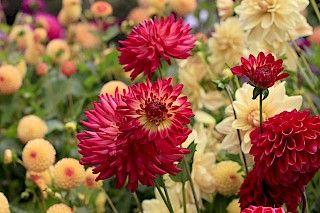 Dahlia Garden - Photo Galleries - MCBG Inc. 2020 | Fort Bragg, California