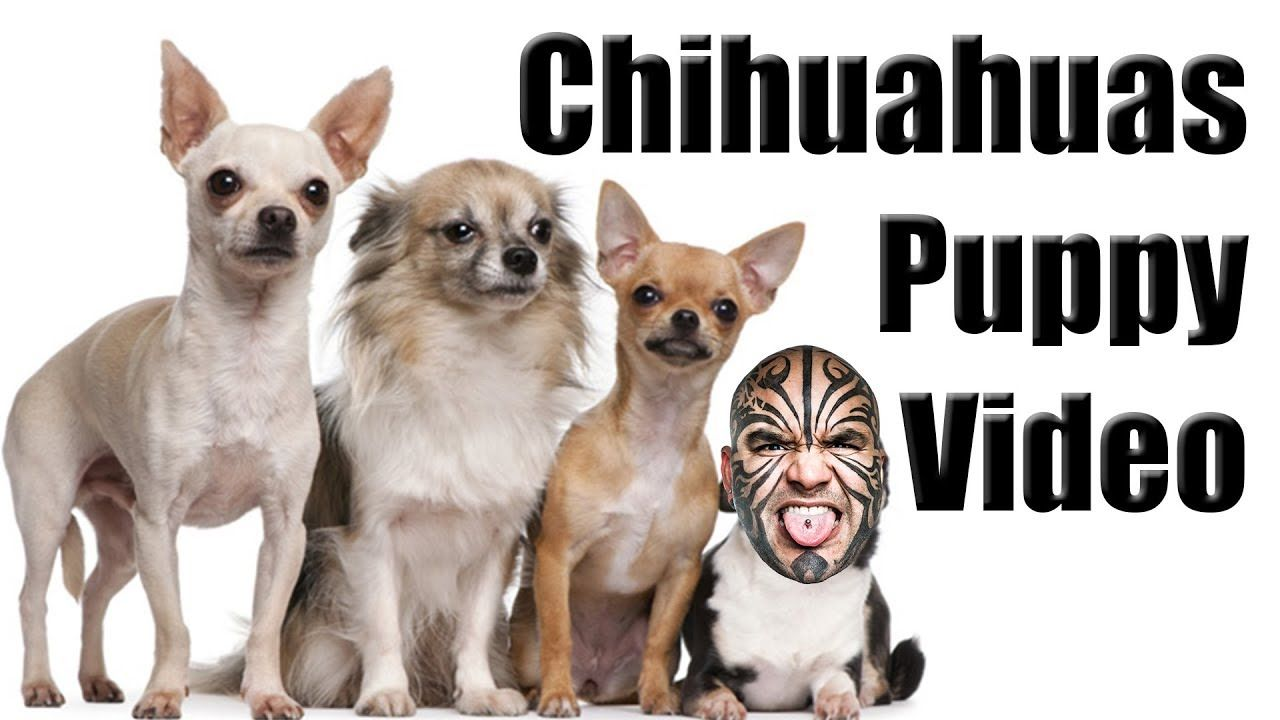 Baby Chihuahuas Feeding Video Loy Machedo Shares His Baby