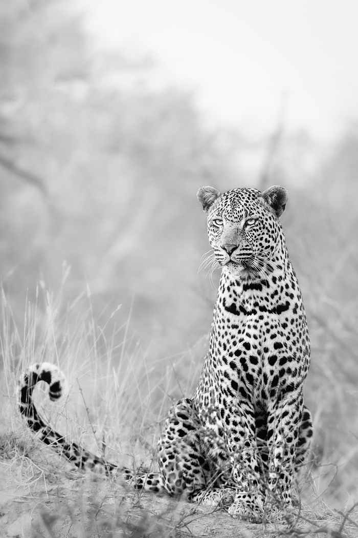 Photograph Super Leopard by Keith Connelly Photographics on 500px