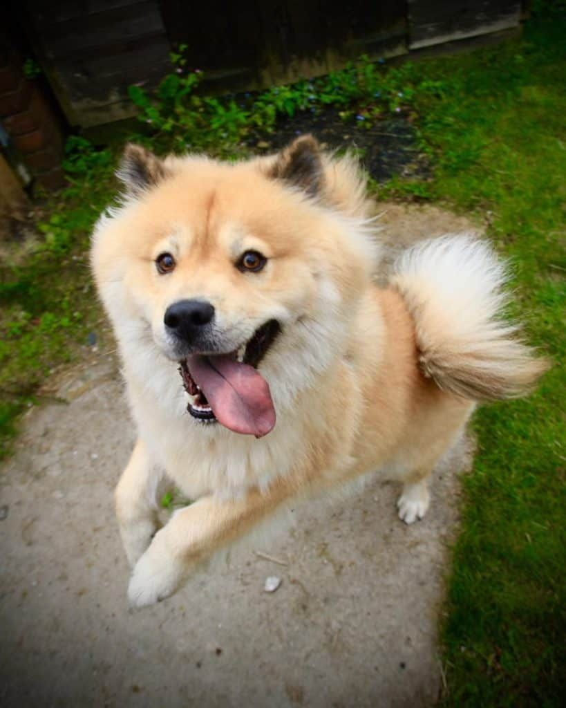 Husky Chow Chow Mix Vet Reviews 3 Reasons To Avoid Chow Chow