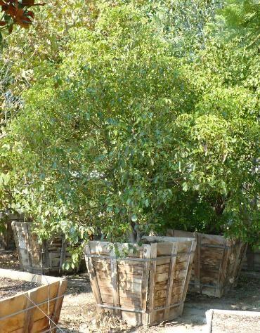 San Antonio Nursery Corp Whole To The Public Cinnamon Camphora