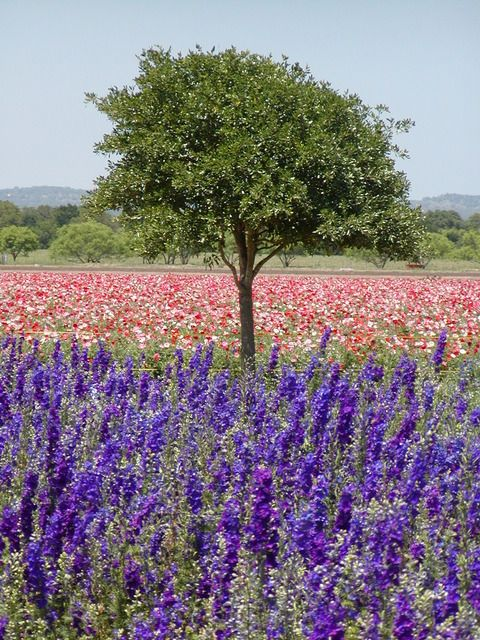 Fredericksburg, TX : Ladybird Johnson Wild Flower Center ...