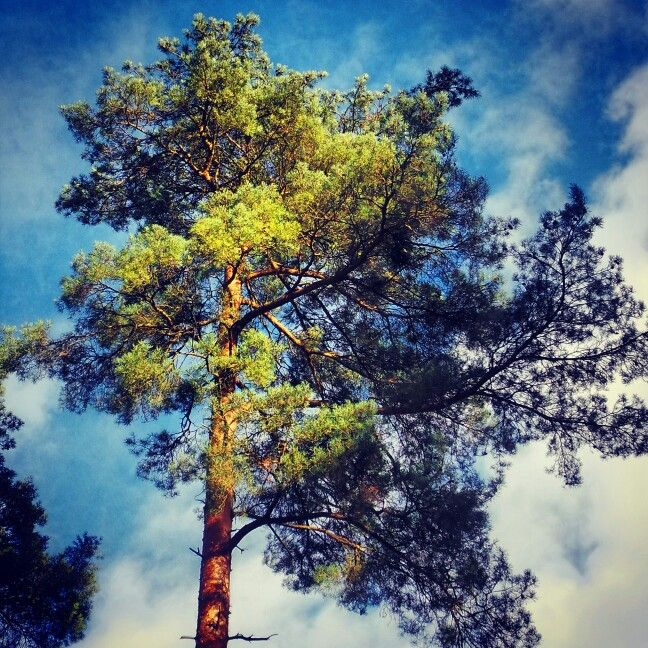 Thetford pine