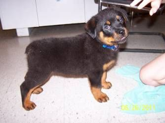 Rottweiler Puppy S Look Like Little Black Teddy Bears When Little