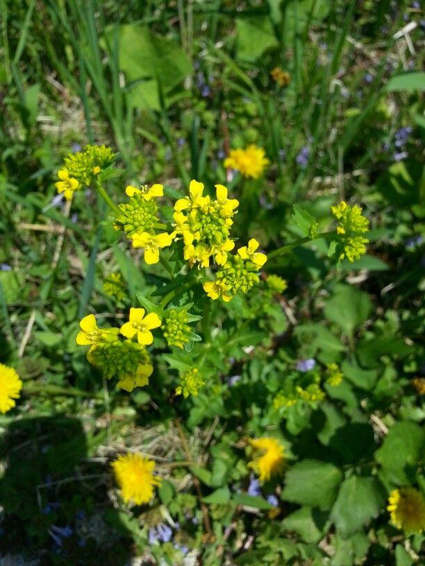 Yellow Rocket Barbarea Vulgaris Arcuata Mustard Family Basal Leaves Are Edible Raw If Young