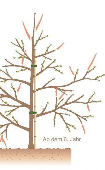 obstb ume schneiden 10 tipps pflanzen pinterest obstb ume schneiden g rten und pflanzen. Black Bedroom Furniture Sets. Home Design Ideas
