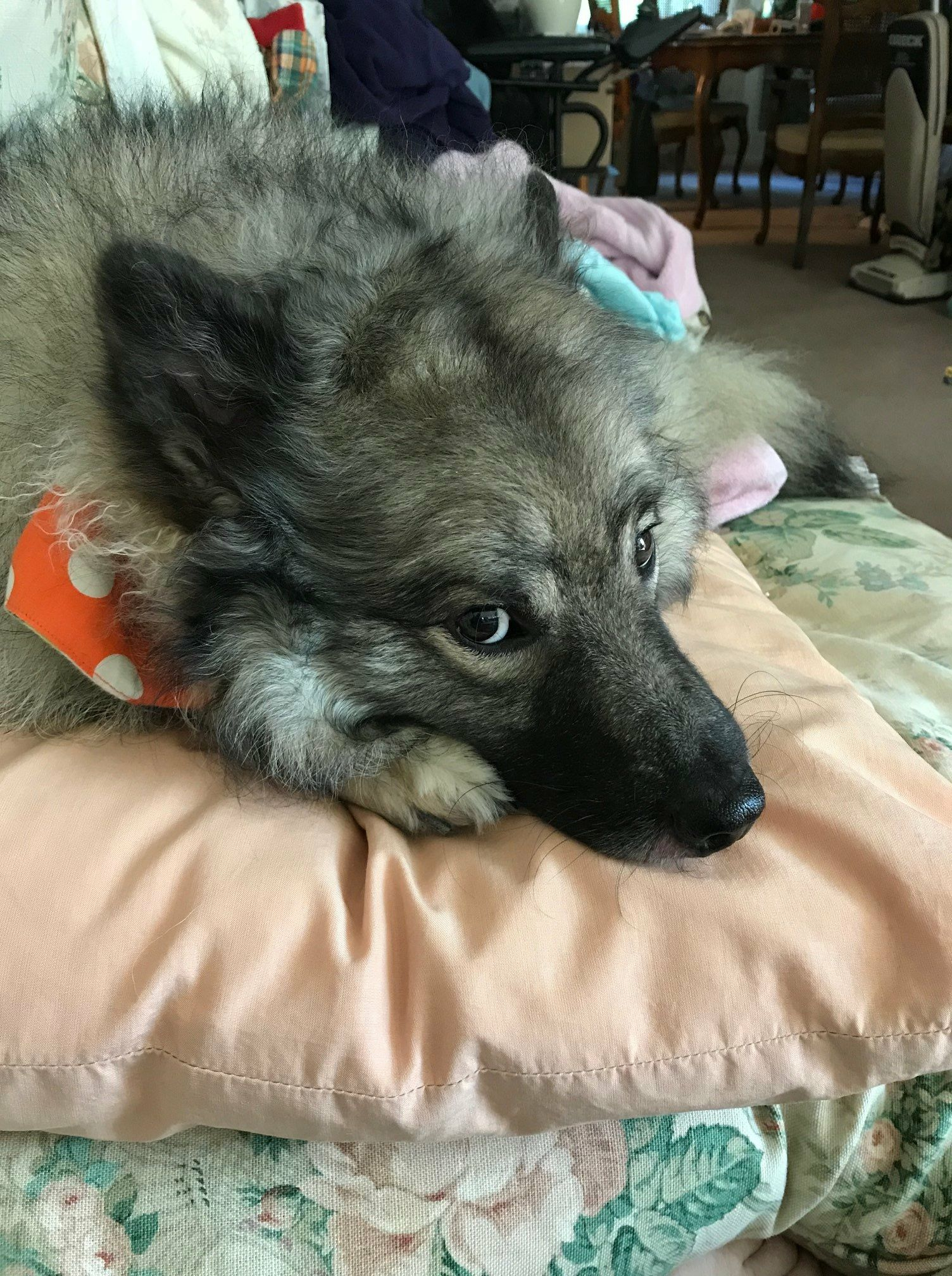Pin by Cheryl Gnepper on Furry friend Keeshond, Furry