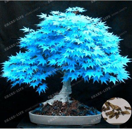 acheter rare bleu rable graines bonsa arbre plantes pot costume pour le. Black Bedroom Furniture Sets. Home Design Ideas