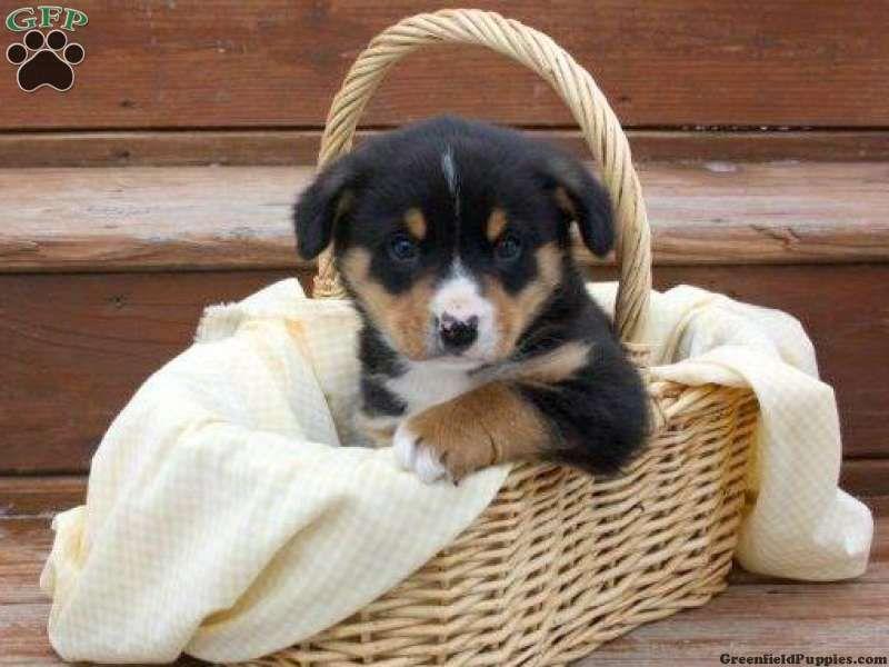 Dallas Entlebucher Mountain Dog Puppy For Sale In Pennsylvania