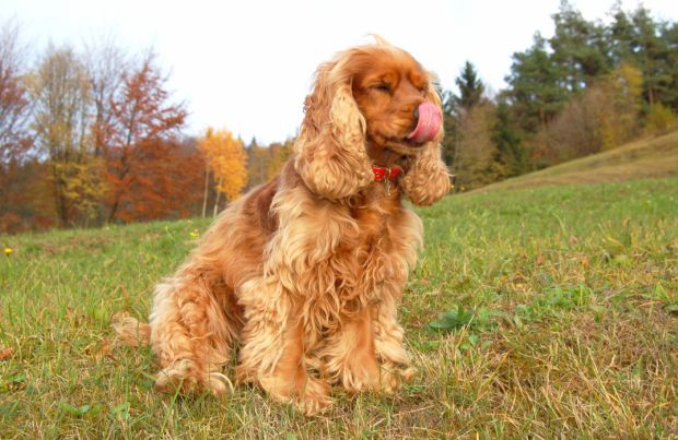 Field Spaniels Dog Breed History Information And Pictures