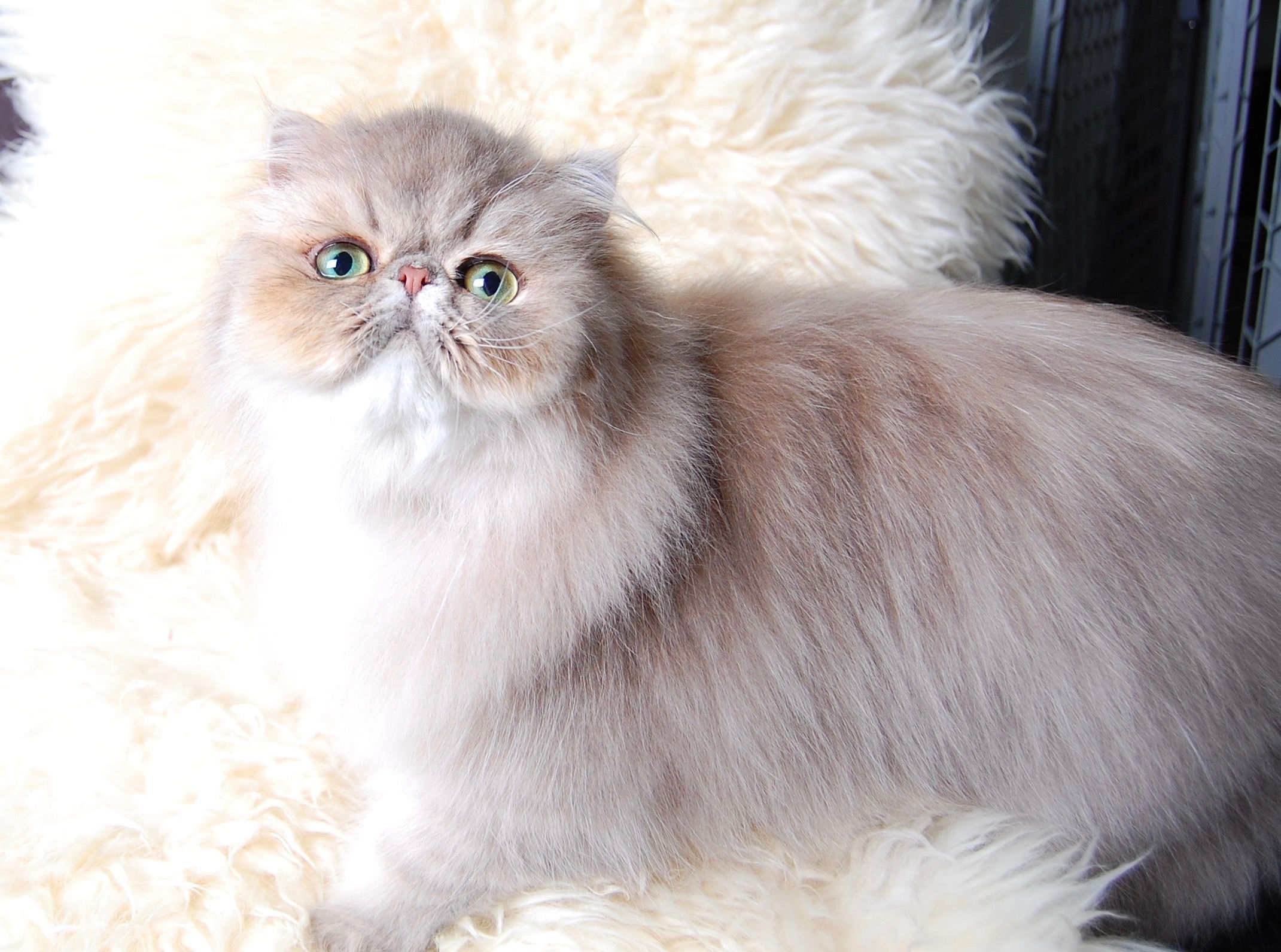 Shaded Blue Golden Persian Persian Kittens For Sale Persian Kittens Kitten For Sale