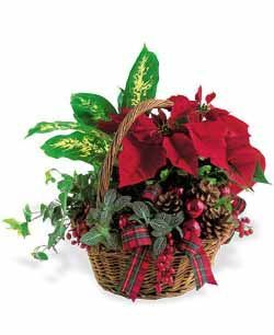 European Poinsettia Garden Holiday Planter Christmas Flowers Flower Delivery