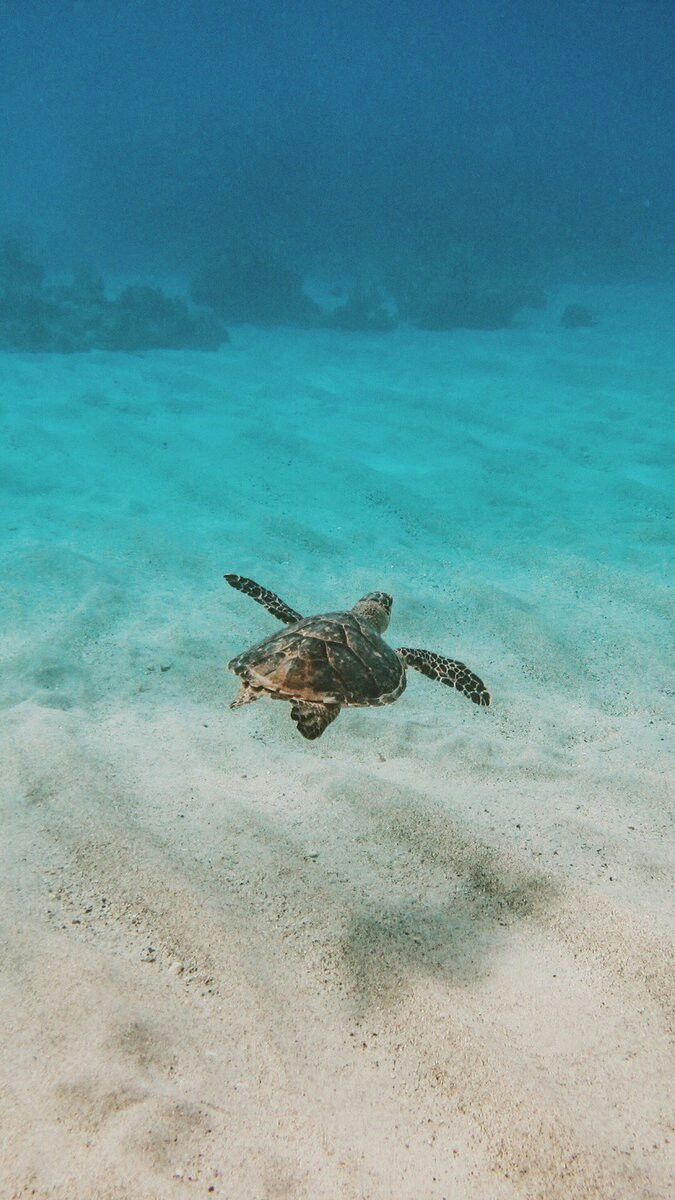 Sea Turtle Turtle Wallpaper Turtle Background Sea Turtle Wallpaper