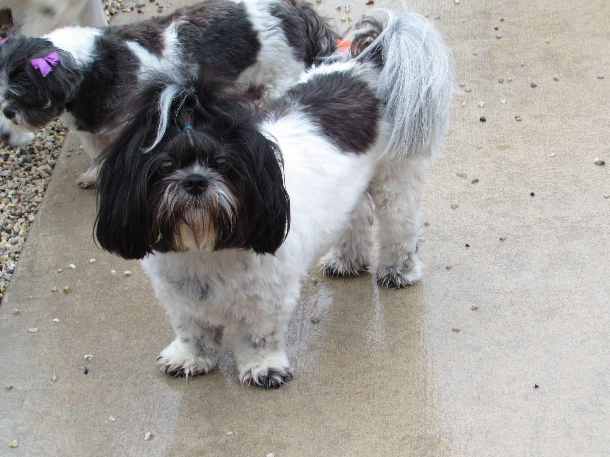 Pin By Gail Zeininger Boushley On Shih Tzus Shih Tzus Cute Dog