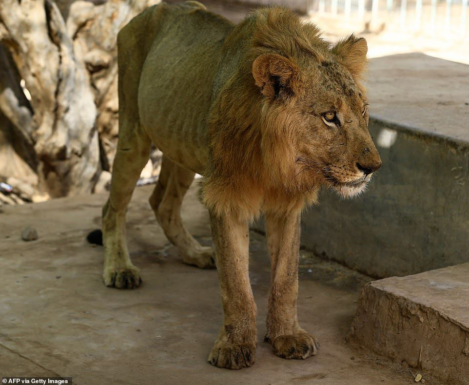 Vets try to save Sudan zoo's four remaining lions after