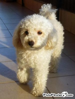 Found Poodle In Winchester Ca Us 92596 Id 413226 Male White