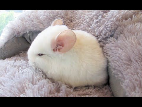 Because Totoro Chinchilla That S Why Chinchilla 9 Week Old Baby