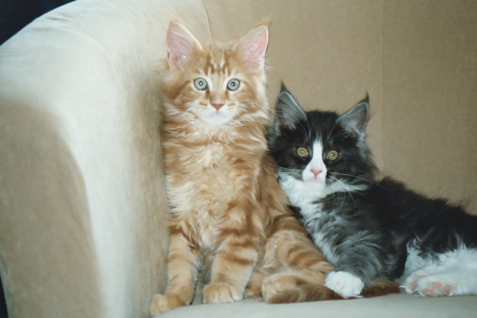 Pin On All Colours Kitten Cuteness Overload