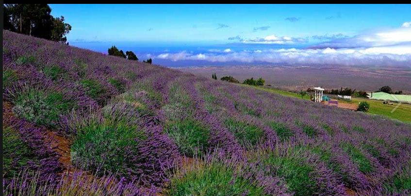 Discover the Ali'i Kula Lavender Farm. A delight for the senses ...