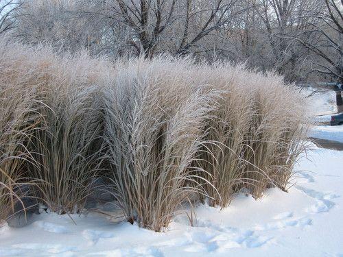 Panicum virgatum northwind grows to 6ft high gardening native gardens workwithnaturefo