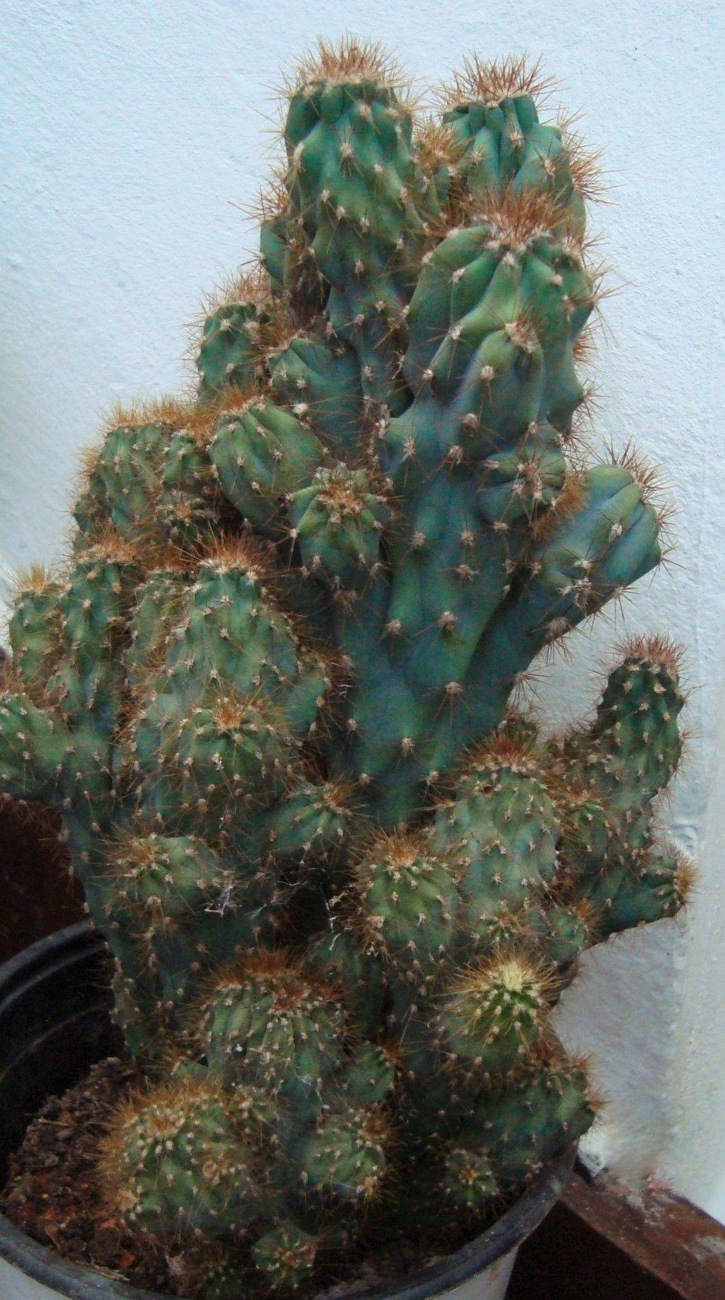 Cereus jamacaru f monstruosus  my own succulent