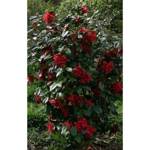Camellia 'Mark Alan' (japonica)