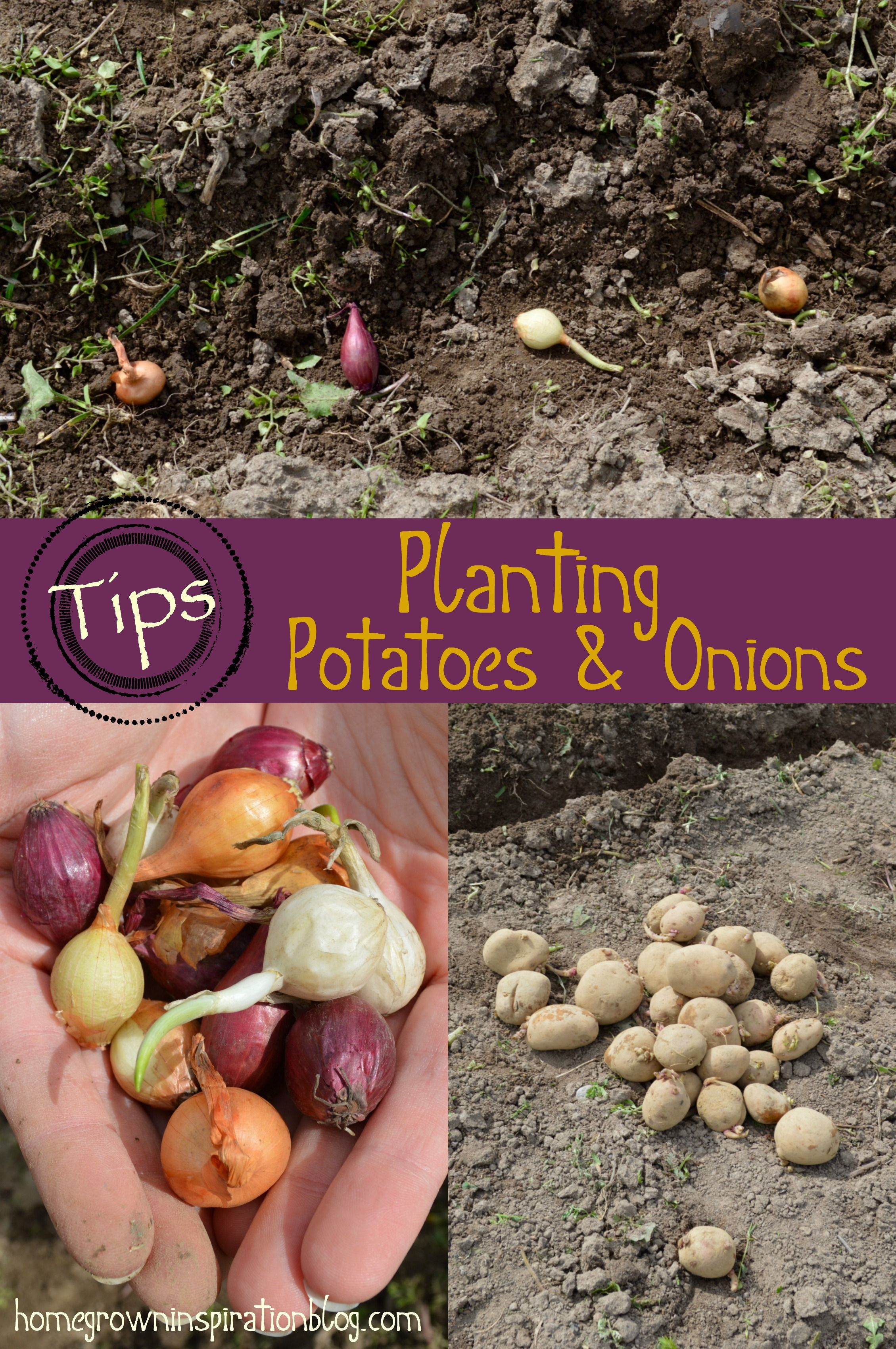 Tips For Planting Potatoes Onions Planting Potatoes Potato