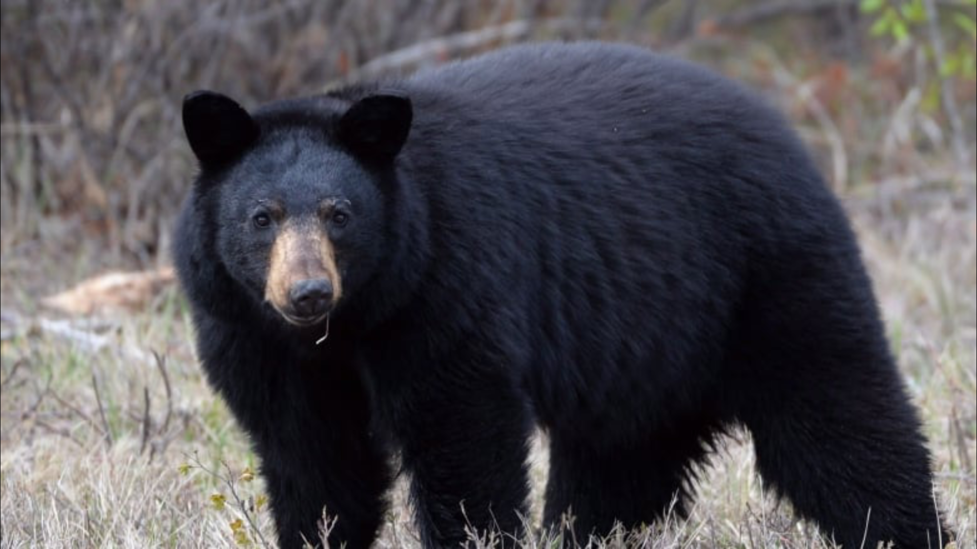 Pin By Melea Thomson On Bears Black Bear Hunting Black Bear Bear Hunting