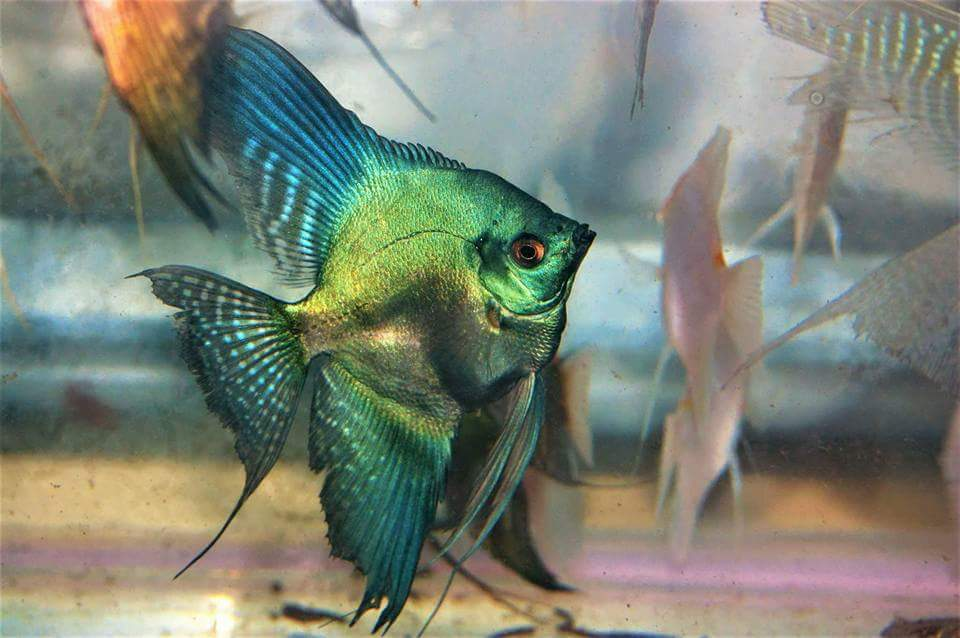 Rasboras Are Probably Some Of The Most Favorite Aquarium Fish They Do Not Only Look Nice But They Are Extremely Active And C Aquarium Fish Aquarium Fish Care