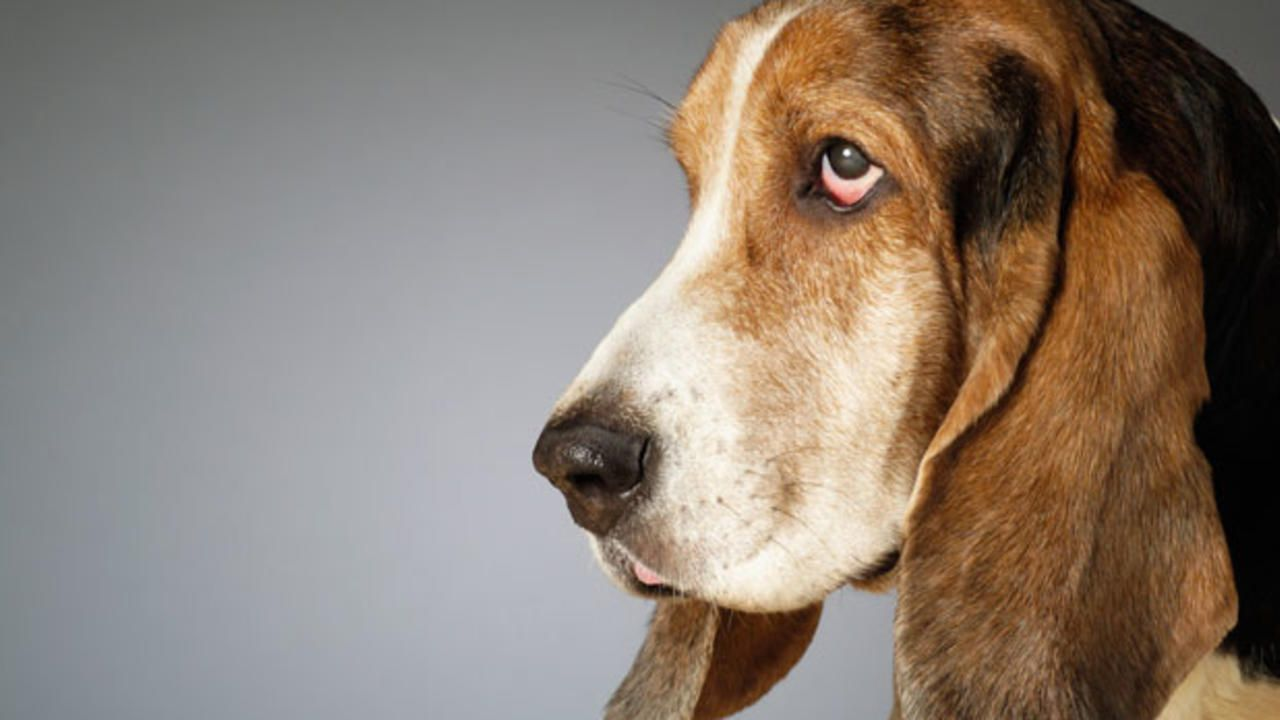 5 Myths And Facts About Your Sagging Face Dog Breed Info Dogs