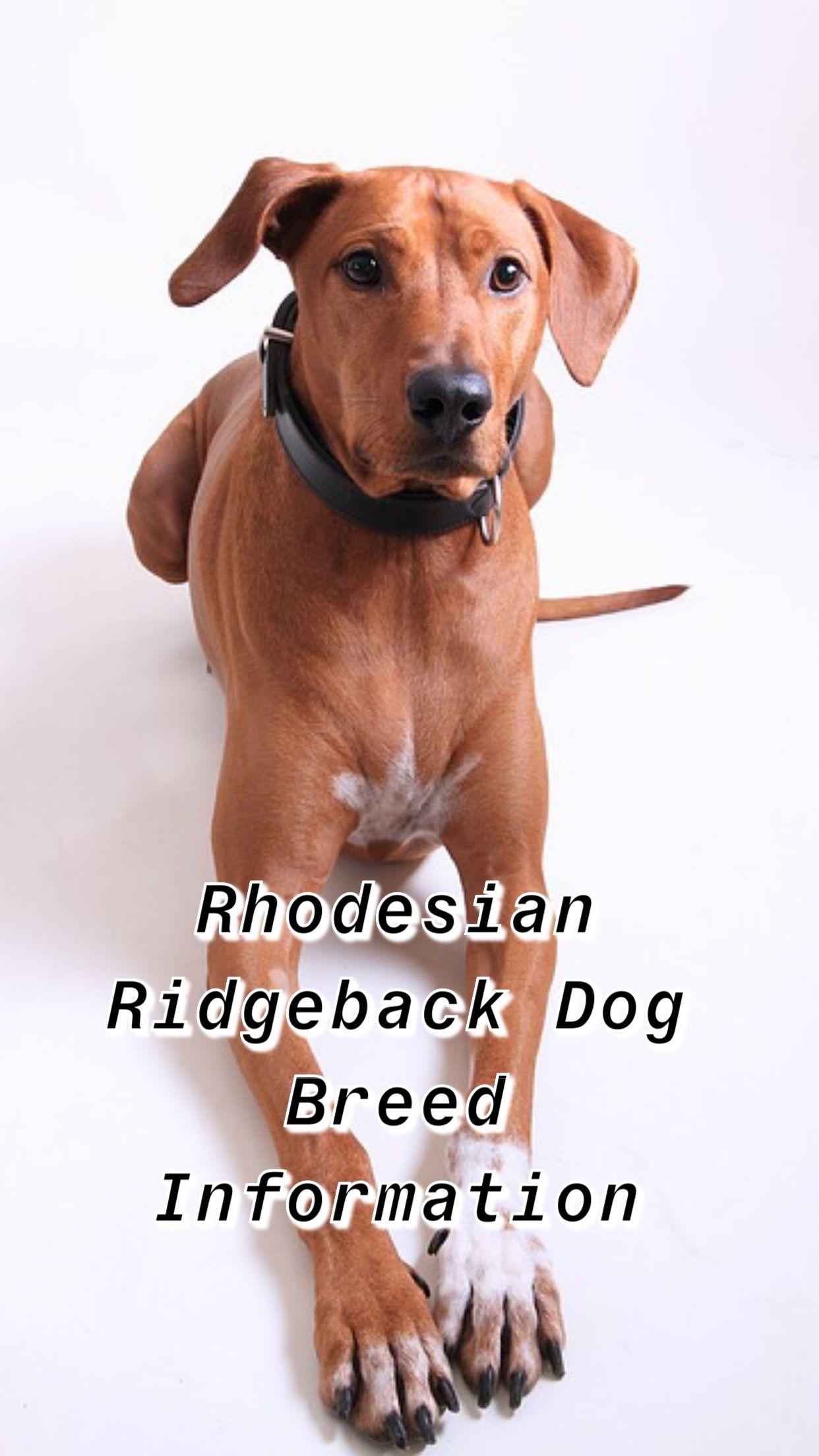 rhodesian ridgeback puppy rhodesian ridgeback facts