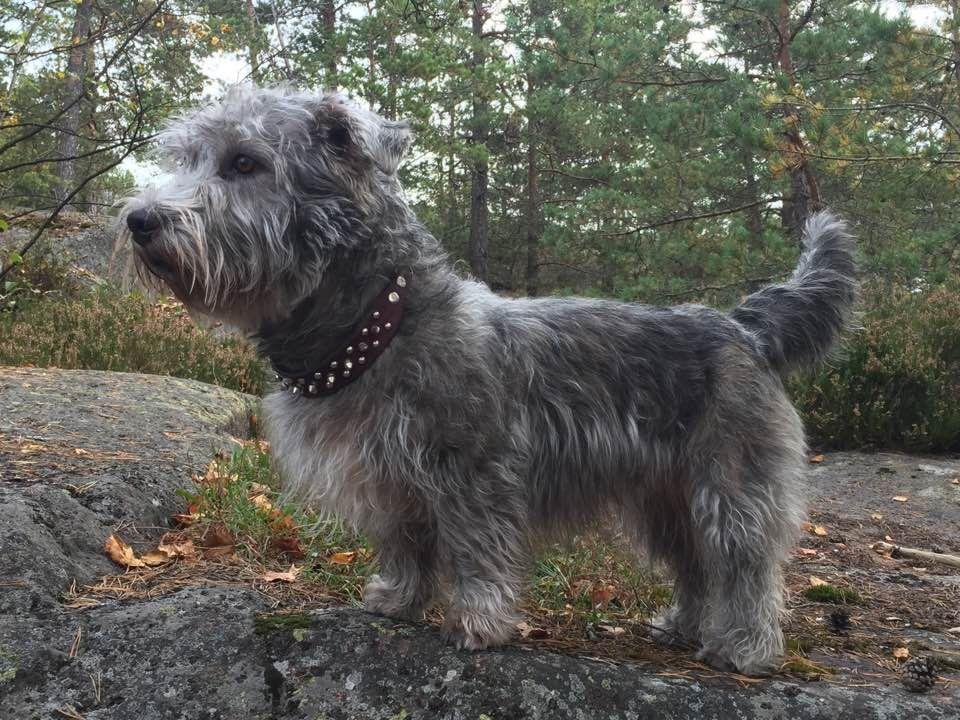 Glennielamaa Glen Of Imaal Terrier Irish Dog Breeds Terrier