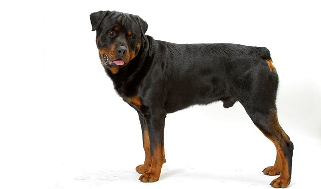 Everything You Want To Know About Rottweilers Including Grooming