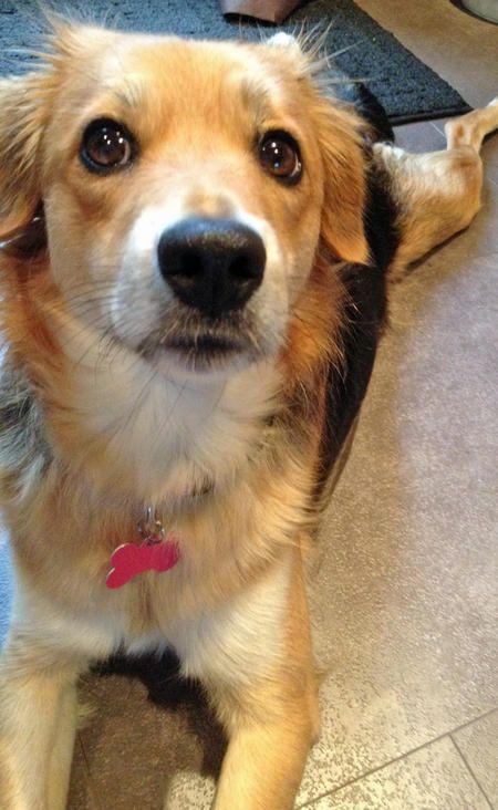 Kiwi the Beagle Mix -- Dog Breed: Beagle / Shetland Sheepdog