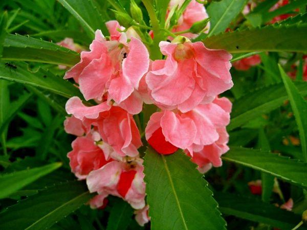 Ciri Ciri Tanaman Pacar Air Beserta Manfaatnya Http Bibitbunga Com Blog Ciri Ciri Tanaman Pacar Air Beserta Manfaatnya Bunga Gambar Bunga Mahkota Bunga