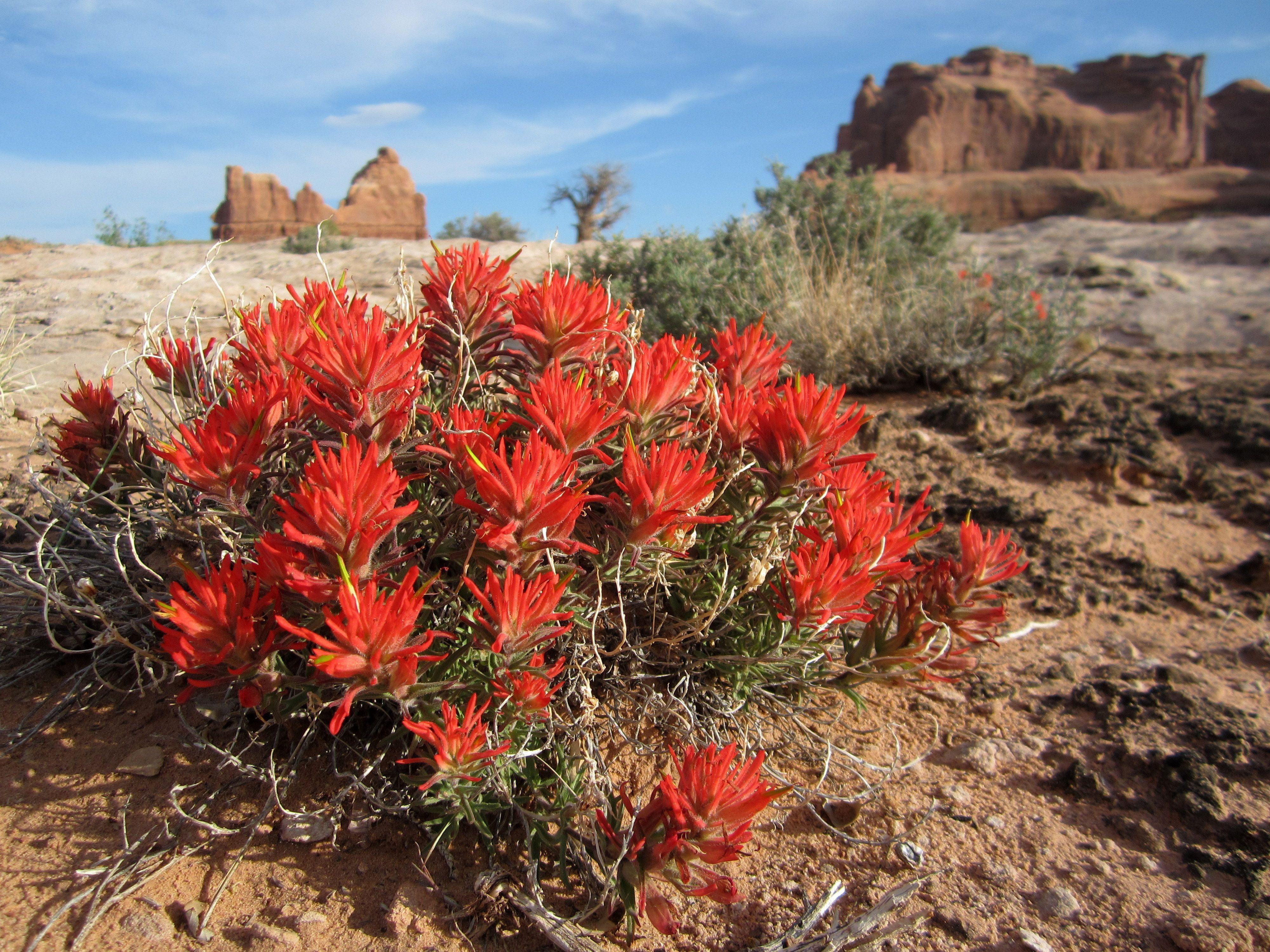 растения пустыни фото с названиями простой темно-бордовый цветок