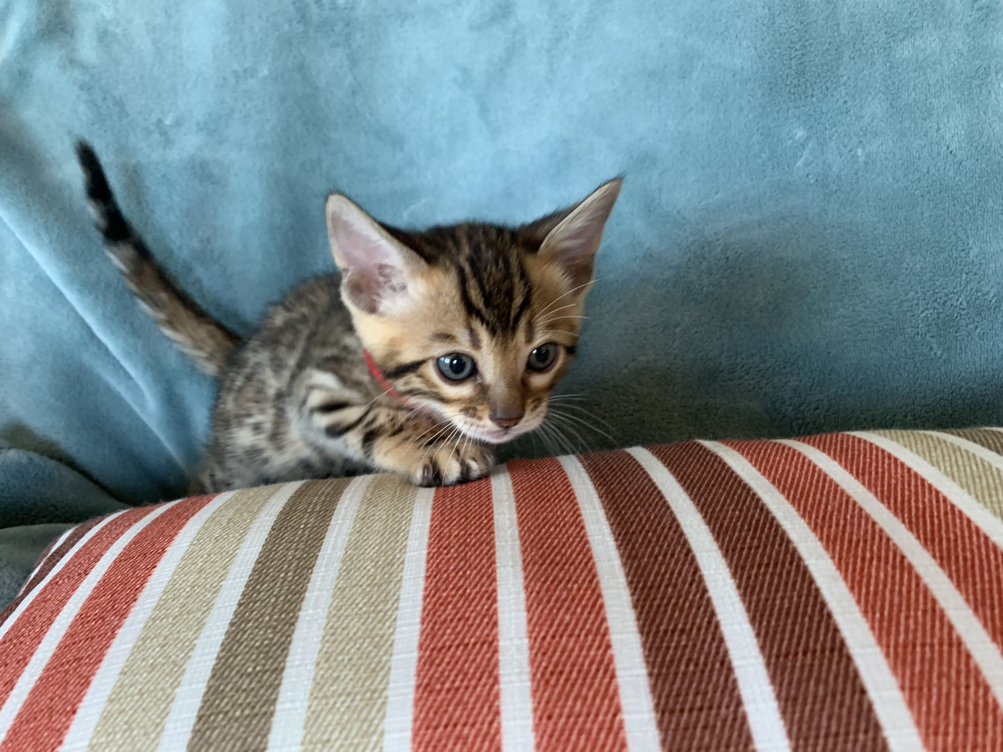 We Are Registered Bengals Bengaltime Cattery And We Are Located